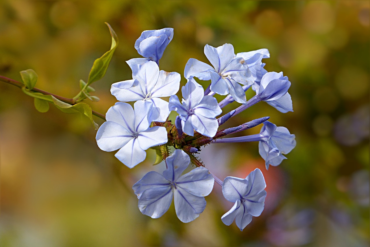 hellblaue Blüte, Bachblüte Cerato auf deutsch Chinesisches Hornkraut